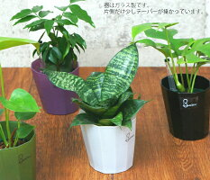 【鉢色が選べる】ヴァインポット3鉢セットハイドロカルチャー観葉植物