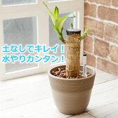 幸福の木 マッサン 観葉植物 ハイドロカルチャー 鉢色が選べる ストーンウッドポットL (水位計付き)