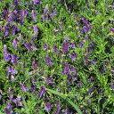 在来種/固定種/花のタネ「ヘアリーベッチ100ml5~6坪分」畑懐〔はふう〕の種【メール便可】
