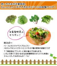 【てしまの苗】フダンソウスイスチャードブライトライト4株入りパック葉菜苗【人気】
