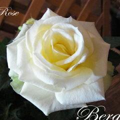 花色が変化する開花期が美しい品種です。ミニバラにしては香りが強く、バラの香りも楽しめます...