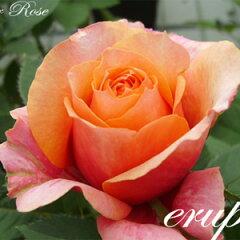 花びらの表と裏で色合いが違うオレンジ大輪品種国内生産できるのは「花の海」だけです。【バラ4...