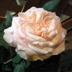 ローズフォーエバーシリーズで最初に発表された品種。香りも良く花弁が多くてふわっとやわらか...