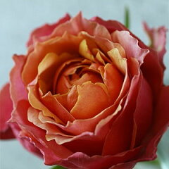独特の個性的な色合いの品種。国内生産できるのは「花の海」だけです。【バラ4号鉢】ミニバラフ...