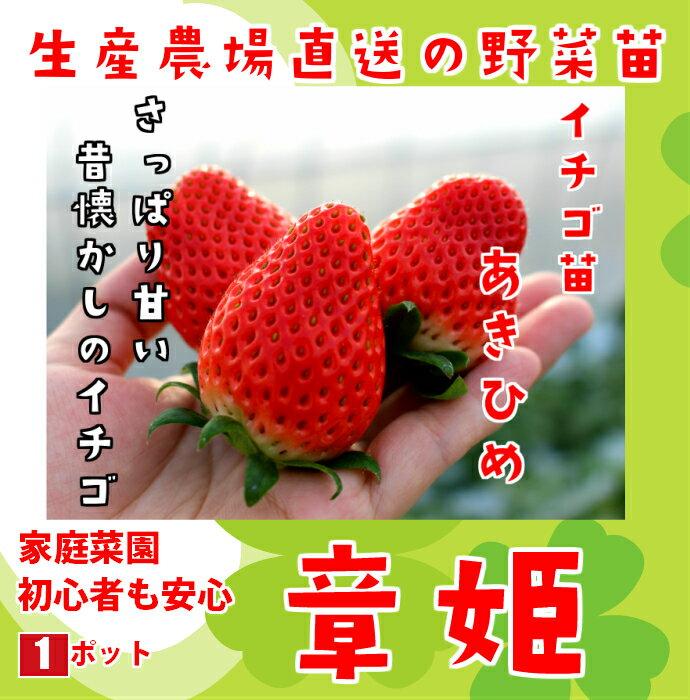 秋植えイチゴ苗 あきひめ