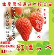 【秋植えイチゴ苗】 紅ほっぺ 9cmポット 【人気】