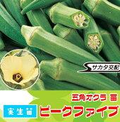 【生産農場直送】オクラ苗ピークファイブ実生苗9cmポット【人気】