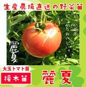 大玉トマト・麗夏