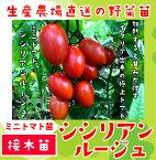 【てしまの苗】ミニトマト苗 シシリアンルージュ断根接木苗 9cmポット 野菜苗