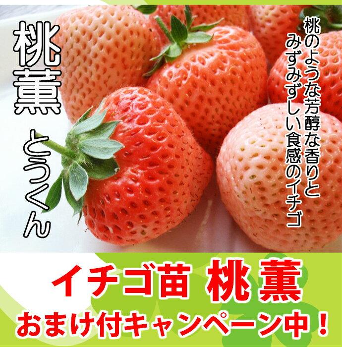 桃薫(とうくん)いちご苗