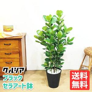 クルシアロゼアプリンセス黒色セラアート鉢植え観葉植物送料無料中型クルーシャ