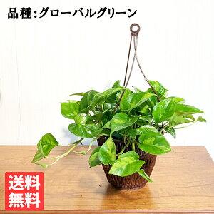 ポトスグローバルグリーン吊り鉢観葉植物珍しい品種丈夫吊るす吊り観葉植物ハンギング丈夫で簡単送料無料