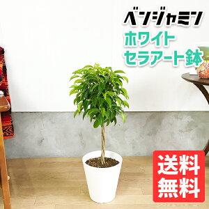 ベンジャミン6号ホワイトセラアート鉢送料無料フィカスベンジャミナ観葉植物中型小型フィカスゴムの木