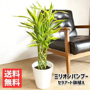 ミリオンバンブー幸運の竹6号ホワイトセラアート鉢送料無料ドラセナサンデリアーナ観葉植物中型小型ラッキーバンブー