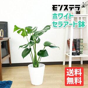 モンステラ6号ホワイトセラアート鉢送料無料ヒメモンステラ観葉植物中型小型