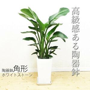 オーガスタ陶器鉢角型送料無料ストレチア観葉植物中型大型