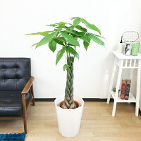 パキラ 8号 スタイリッシュな鉢カバー 選べるカバー2色 ホワイト ブラック 送料無料 ねじり 編み 観葉植物 中型 大型 インテリア