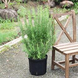 ローズマリー立性鉢植え苗苗木ハーブ送料無料庭木観葉植物インテリア中型小型ベランダテラスバルコニーハーブ寒さに強い