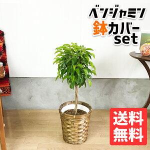 ベンジャミン6号鉢カバー付き送料無料フィカスベンジャミナ観葉植物中型小型フィカスゴムの木