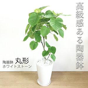ウンベラータ8号陶器鉢丸型白色送料無料フィカスウンベラータ観葉植物おしゃれ中型大型フィカスゴムの木花ガーデンDIY花観葉植物観葉植物インテリアウランベータ