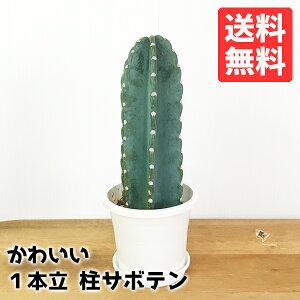 サボテン柱サボテン1本立寒さに強い観葉植物おしゃれミニ小型送料無料インテリア