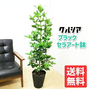 クルシアロゼアプリンセスクルーシャ8寸ブラックセラアート鉢送料無料ヤシの木観葉植物中型大型