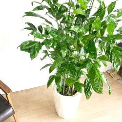 高性チャメドレアヤシの木10号送料無料コウセイチャメドレア観葉植物おしゃれ尺鉢大型大鉢10号鉢大サイズインテリア寒さに強い
