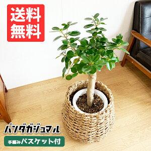 ガジュマルパンダガジュマル手編みバスケット付きゴムの木希少種大サイズ観葉植物おしゃれ送料無料ガジュマロインテリア