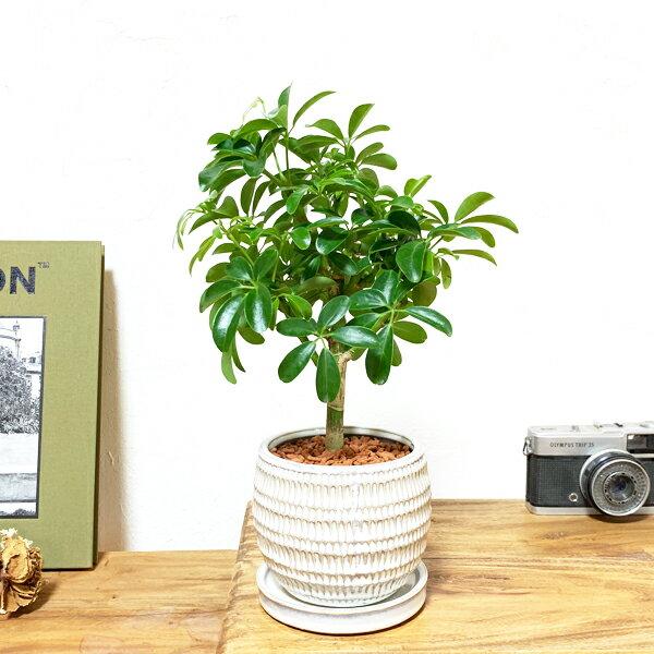 観葉植物のthe・green シェフレラ 丸型陶器鉢植