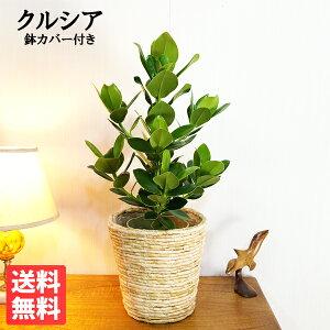 クルシアロゼアプリンセスナチュラル鉢カバー付観葉植物送料無料中型クルーシャ