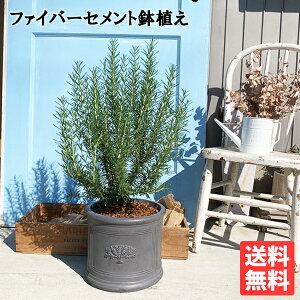 ローズマリー立性ラウンドポット植えブラック送料無料鉢植え観葉植物苗苗木ベランダテラスバルコニーハーブ