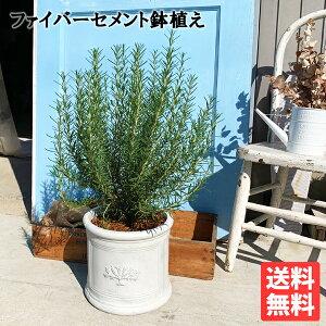 ローズマリー立性ラウンドポット植えホワイト送料無料鉢植え観葉植物苗苗木ベランダテラスバルコニーハーブ