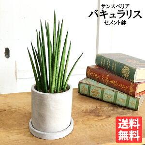 サンスベリアアッシュグレー鉢植えセメントポット卓上サイズ観葉植物本物サンセベリアバキュラリスミカド送料無料ミニサイズ小型インテリア