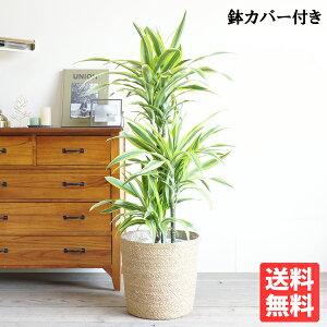 ドラセナワーネッキーレモンライム8号鉢カバー付き送料無料観葉植物おしゃれ中型大型インテリアドラセナデレメンシスDracaena