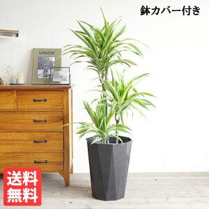 ドラセナワーネッキーレモンライム8号黒色鉢カバー付き送料無料観葉植物おしゃれ中型大型インテリアドラセナデレメンシスDracaena
