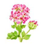 玫瑰天竺葵精油澳大利亞生產的 5 毫升和 100%天然精油
