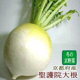 京都府産 聖護院大根(しょうごいんだいこん)大玉 2Lサイズ 約2kg 1個 「京野菜」京ブランド産品 ダイコン 京やさい 丸大根