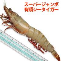 【特大】スーパー・ジャンボ有頭シータイガー海老27〜30cm/尾程