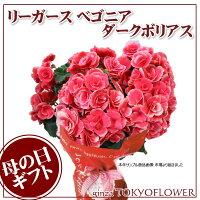 選べる銀座のリーガースベゴニア母の日ギフト早割バレンチノピンクボリアス5号鉢ラッピング無料花鉢Mother's_Day送料無料母の日ギフトは銀座東京フラワー