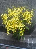 黄色い蘭 オンシジューム5本立アーチ 2万円 送料無料 楽ギフ_包装 楽ギフ_メッセ入力 smtb-s