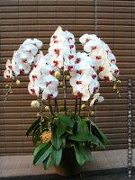 胡蝶蘭5本立(白x赤)
