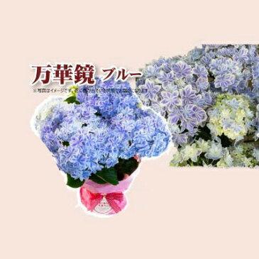 母の日 贈答 早割 銀座の紫陽花 アジサイ 万華鏡 青 5号鉢 鉢植え ギフト 送料無料 沖縄+1000円