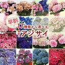 母の日 早割 4/25 23:59まで 終了後4,999円 アジサイ 選べる17種over 銀座の紫