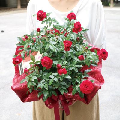 母の月 バラ鉢 トゥルーブルーム レッドキャプテン 花鉢 6寸 サイズ大小あり ラッピング込 送料無料 園芸 薔薇 花鉢