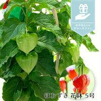 【風鈴付き】銀座のほおずき鉢花5号約15cmカゴ付き季節の花鉢H50-60cmW30cm