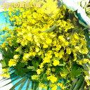 華やかな黄色い蘭 オンシジウム 花束 8本以上 M 送料無料...