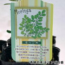 モリンガ 奇跡の木 苗 3号ポット【6鉢】送料無料 父の日 スーパーフード 生命の木 植林 樹木