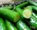 送料無料【愛媛県大洲産】鮮度抜群! きゅうり 5kg Lサイズ