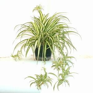 南アフリカ原産の観葉植物オリヅルラン 12.0cmPOT
