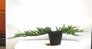 地をはうように生長し、緑美しいグランドカバーハイビャクシン・バーハーバー葉張り30cm